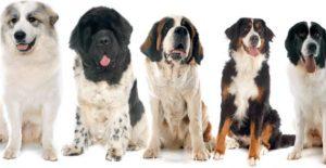 grootste hondenrassen