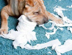 hond eet tampon op