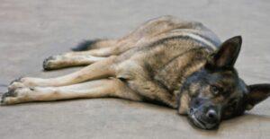 Diarree hond